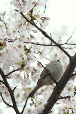 cerisiers en fleur au Japon hanami - 21