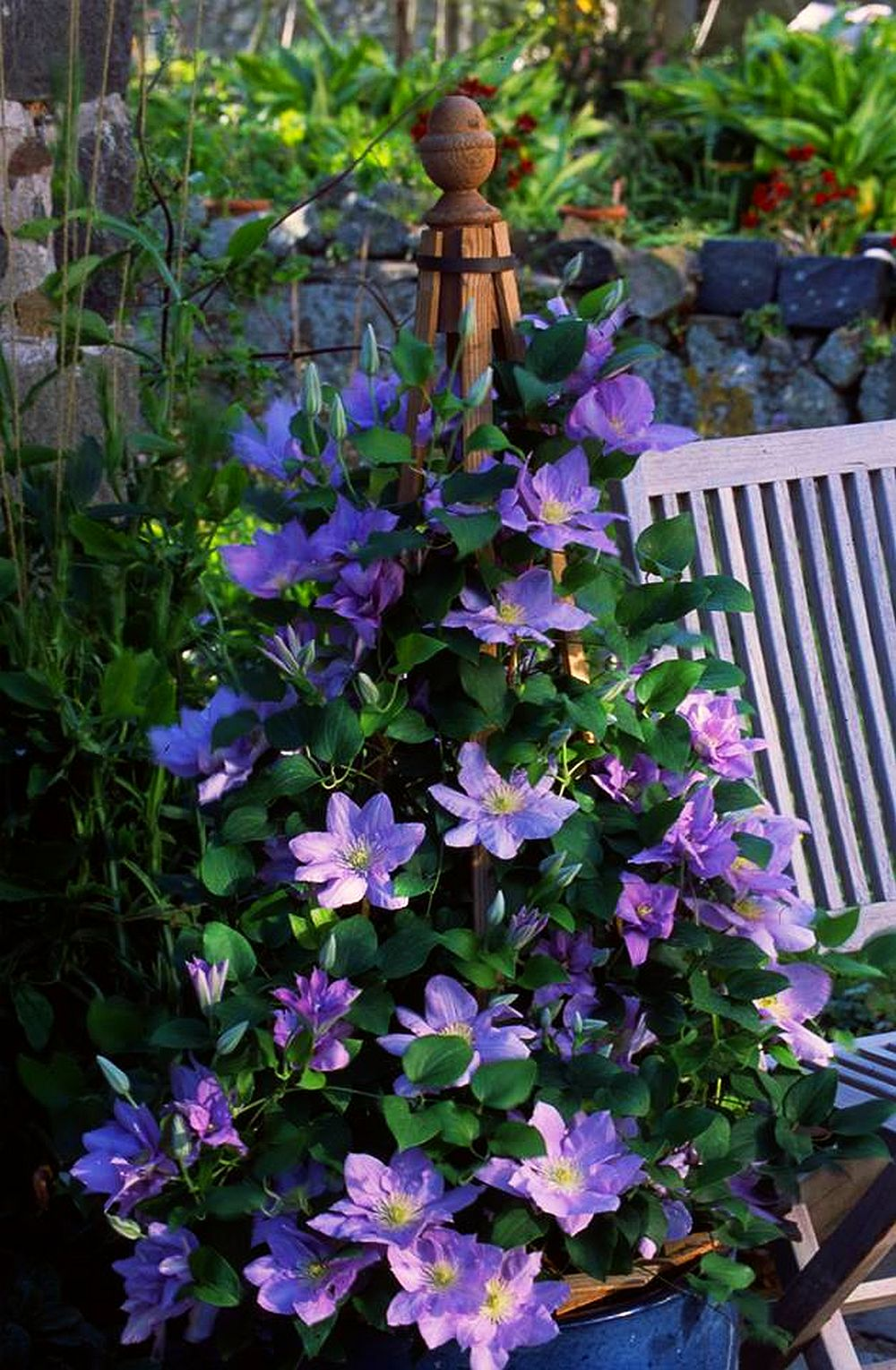 Clematis explozie de flori i culoare pe balcon sau n for Home landscape design studio for mac 14 1