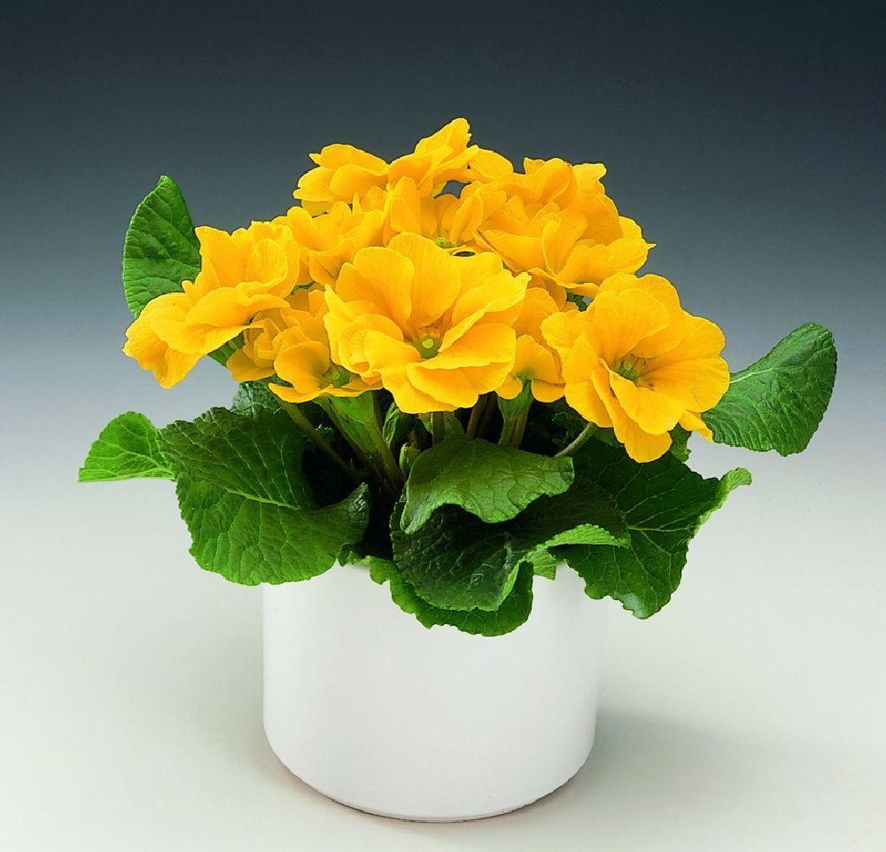 adelaparvu.com despre Primula, Text Carli Marian, Foto Floradania, Primula vulgaris (9)