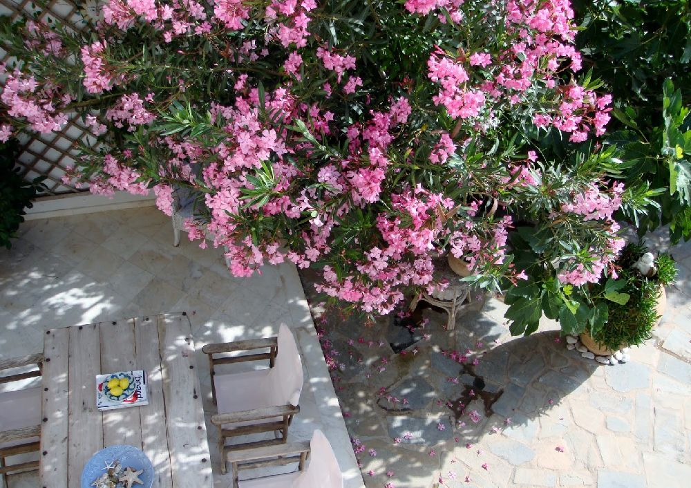 adelaparvu.com despre Nerium Oleander, leandrul potrivit in gradina si pe balcon, Text Carli Marian (12)
