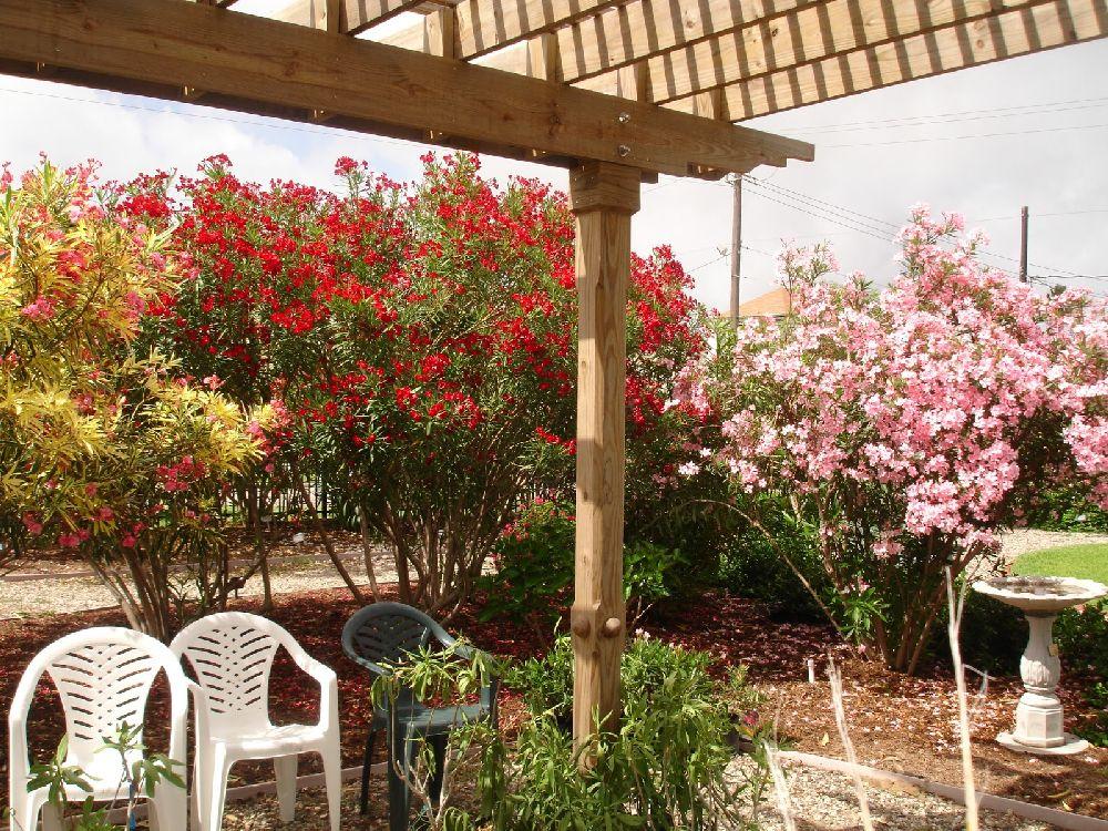 adelaparvu.com despre Nerium Oleander, leandrul potrivit in gradina si pe balcon, Text Carli Marian (13)