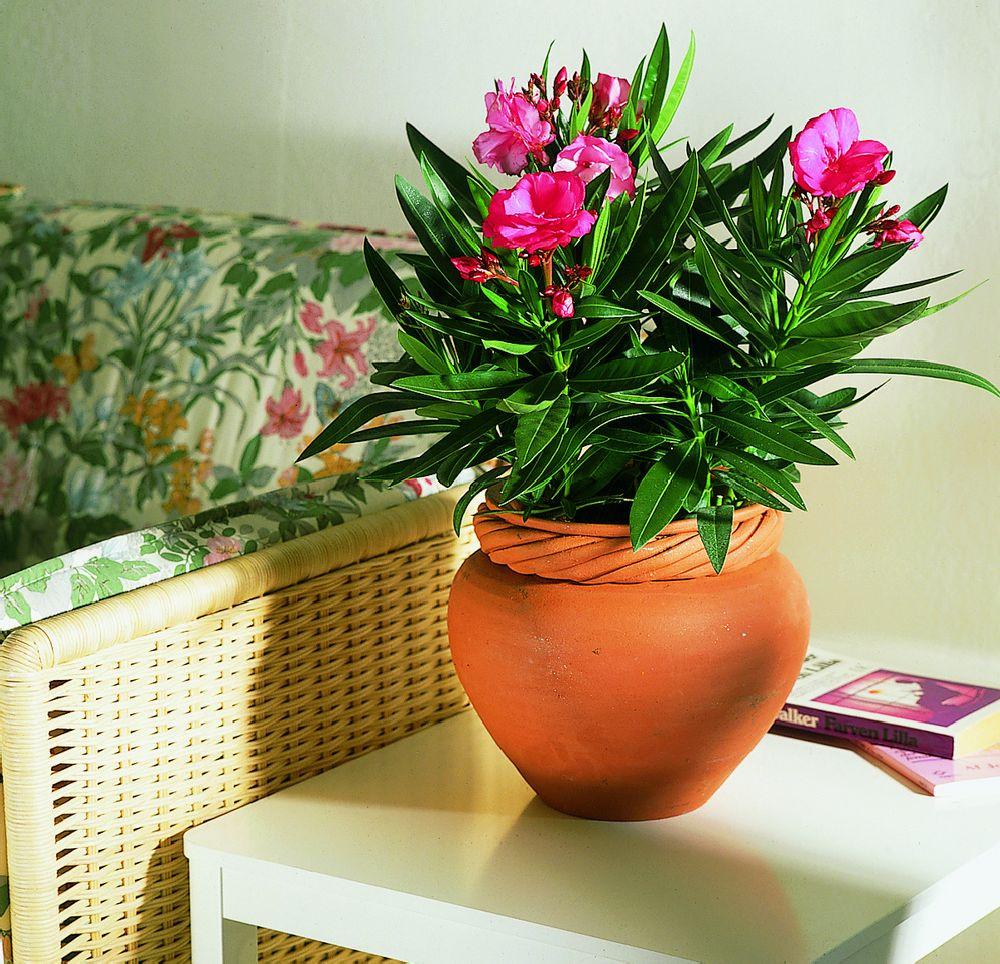 adelaparvu.com despre Nerium Oleander, leandrul potrivit in gradina si pe balcon, Text Carli Marian (9)