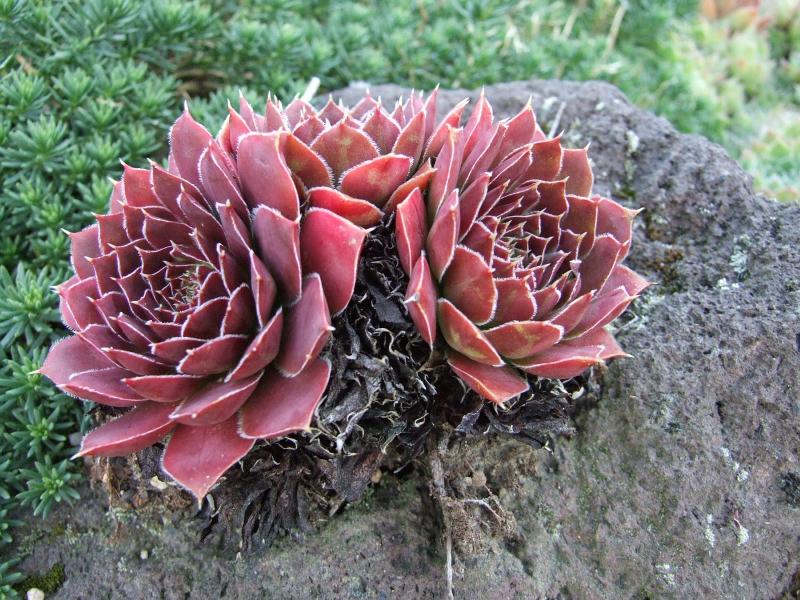 adelaparvu-com-despre-plante-suculente-rezistente-la-frig-text-carli-marian-5
