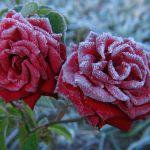 adelaparvu-com-despre-pregatirea-trandafirilor-tufa-pentru-iernat-text-carli-marian-10