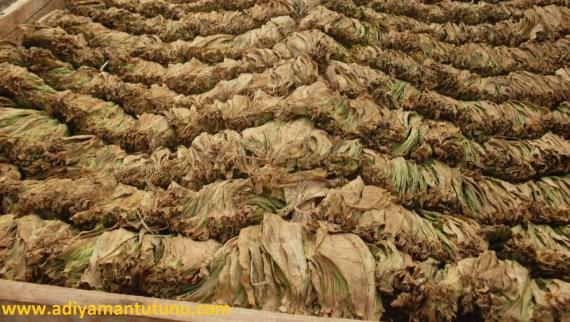 Adıyaman Tütün Yaprakları