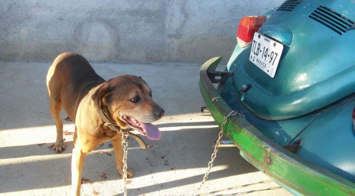 Sujeto arrastró a su perro con su auto hasta sangrarle las patas (16:50 h)