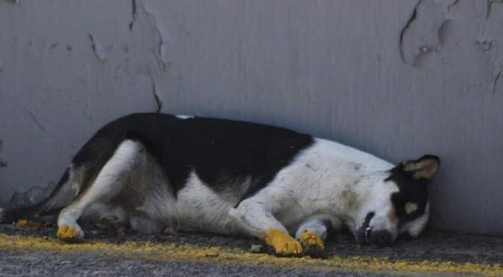 Elementos viales pintaron las patas de amarillo a perrito atropellado (07:55 h)
