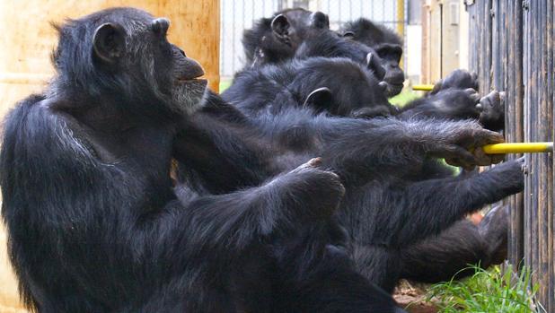 Los chimpancés también son capaces de cooperar (20:30 h)