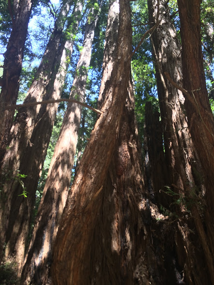 talltrees3