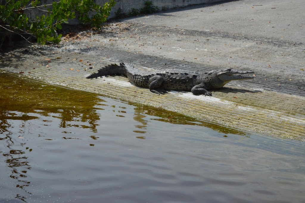 An American Crocodile at the boat ramp at the Marina in Flamingo.