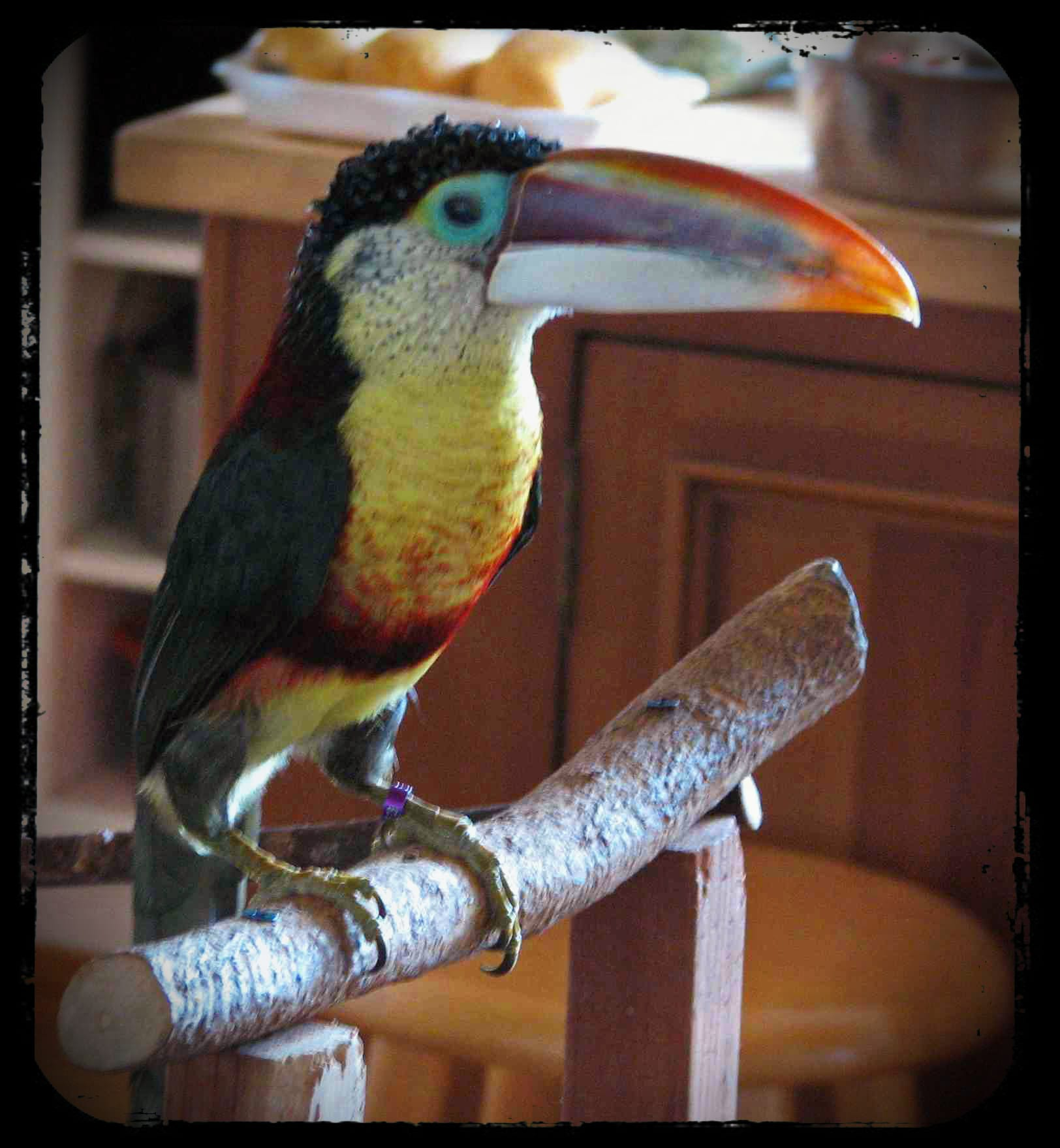 Rocky the Curl Crested Aracari   Adventures in Toucanland Rocky the Curl Crested Aracari