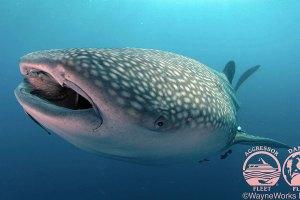 thailand-scuba-whale-shark