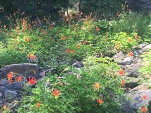 PCT - Amazing wildflowers