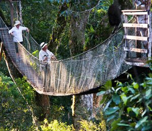 Canopy Walkway takes you into the rainforest canopy