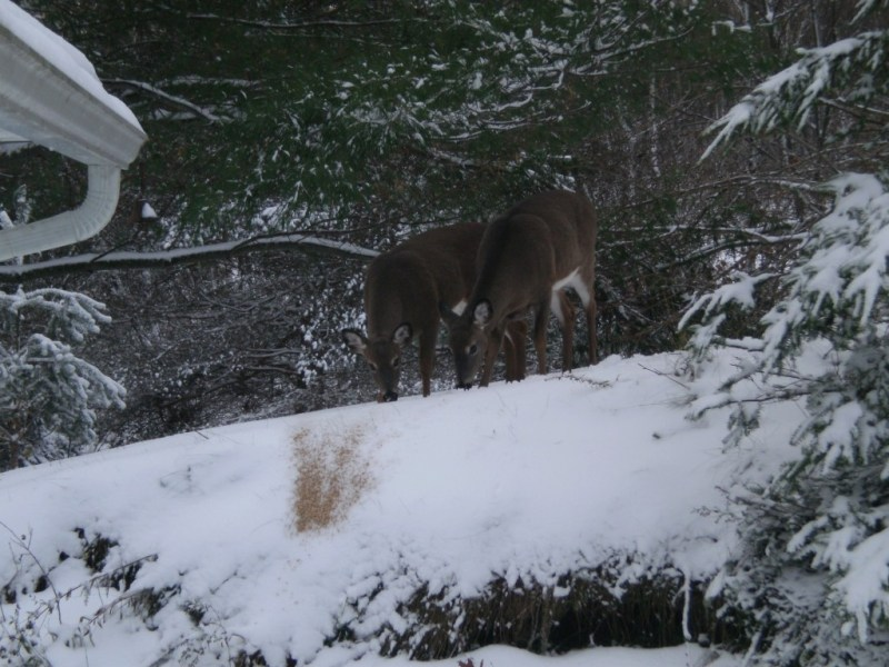 2 deer in the snow on a grey morning.