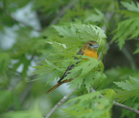 Mrs. Baltimore Oriole