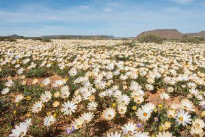 niewoudtville flowers