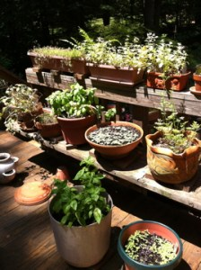 Grow a kitchen herb garden in pots!