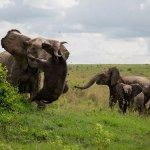 母は強し!アフリカゾウが500キロのバッファローを空中コンボで瞬殺する画像が話題!