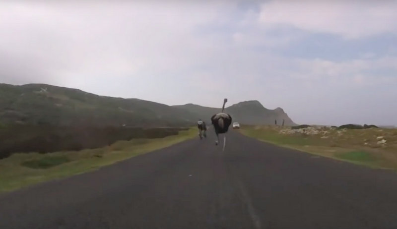 Cyclists chased by an ostrich 2016-03-09 21.46.23