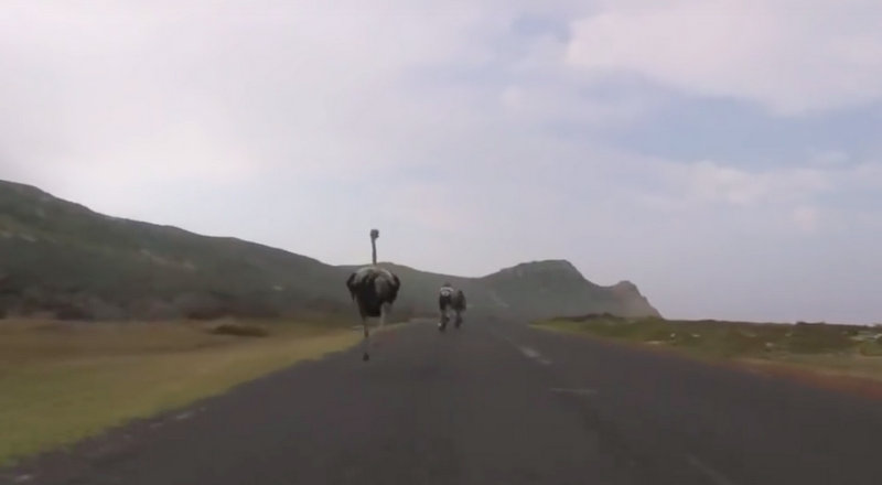 Cyclists chased by an ostrich 2016-03-09 21.46.40