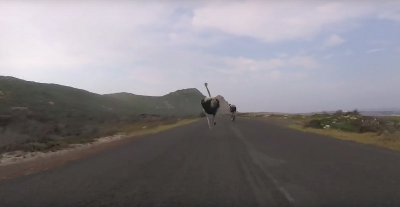 Cyclists chased by an ostrich 2016-03-09 21.46.53