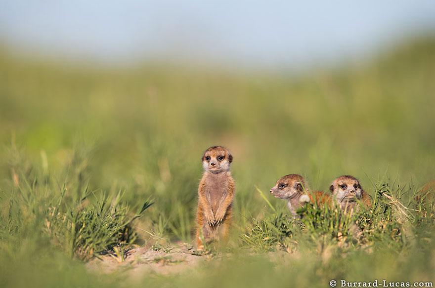meerkats-human-lookout-post-photography-will-burrard-lucas-8