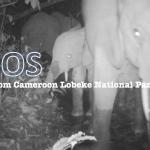 ゾウの数が半分に!迫りくる密猟者の脅威からカメルーンのロベケ国立公園を救いたい!