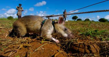 Photo credit: http://www.theplaidzebra.com/giant-rats-are-becoming-highly-trained-bomb-detectors-and-saving-african-lives-and-limbs/
