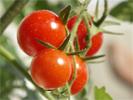 La superficie dédiée à la culture des tomates durant la récolte actuelle est estimée à environ 18 mille hectares