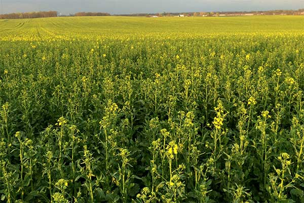 North Dakota Crops Experience Wam And Dry Conditions