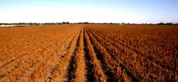 soybeans-mature-rows-08292014-facebook-600