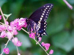 Coral Vine-Black Swallowtail