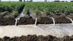 Irrigation Beans 3