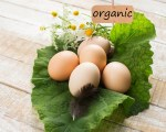 Fresh organic eggs on leaf. Tag with word organic.