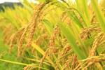 golden-rice-Co-founder