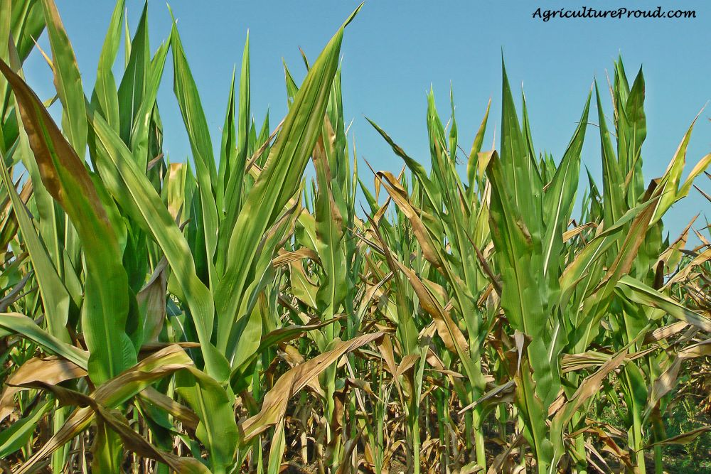 Ask A Farmer: Does feeding corn harm cattle? (4/6)