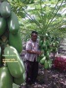 tanaman pepaya