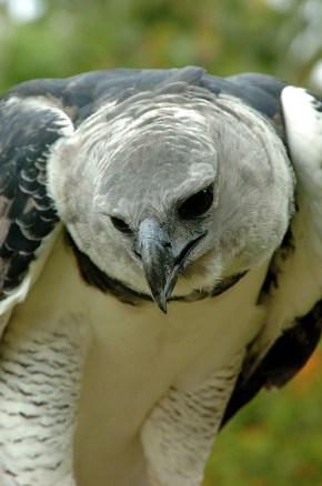 Panama Harpy 1