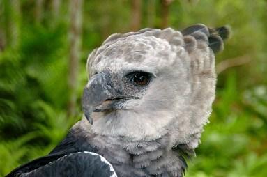 Panama Harpy 13