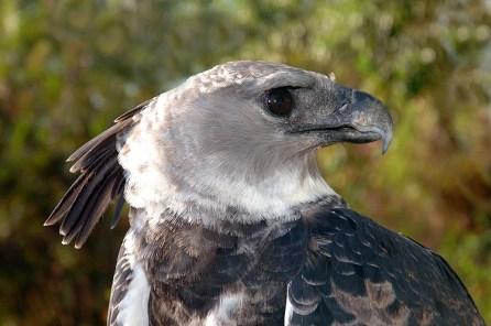 Panama Harpy 23