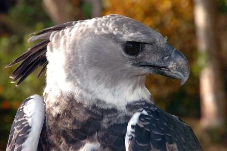 Panama Harpy 24