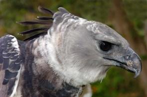 Panama Harpy 6