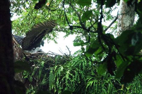 Panama Harpy Nest 1