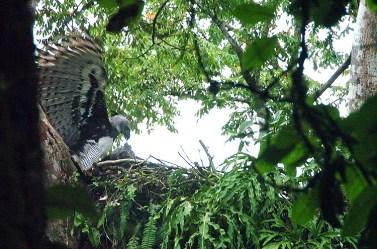 Panama Harpy Nest