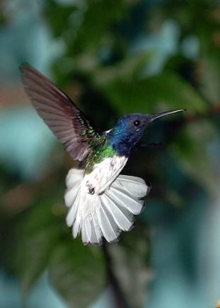 Panama Hummingbird 3