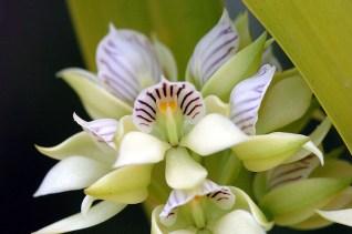 Panama Orchid 1