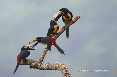 Tucancillo collarejo o arasarí acollarado (Pteroglossus torquatus)