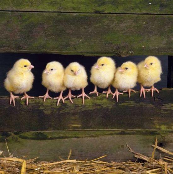 Gambar Anak Ayam Kehilangan Induknya