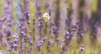 Essential-Oils-Lavender